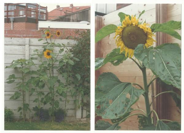 zonnebloemenblog