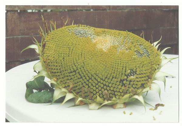 zonnebloemenblog1